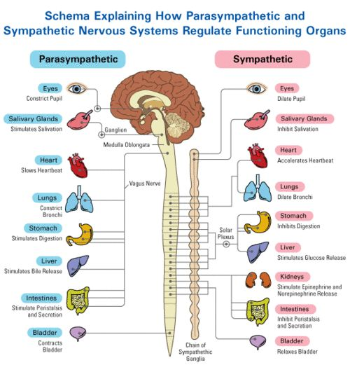 Brain function archives neuromuscular reprogramming what the sympathetic nervous system does ccuart Gallery